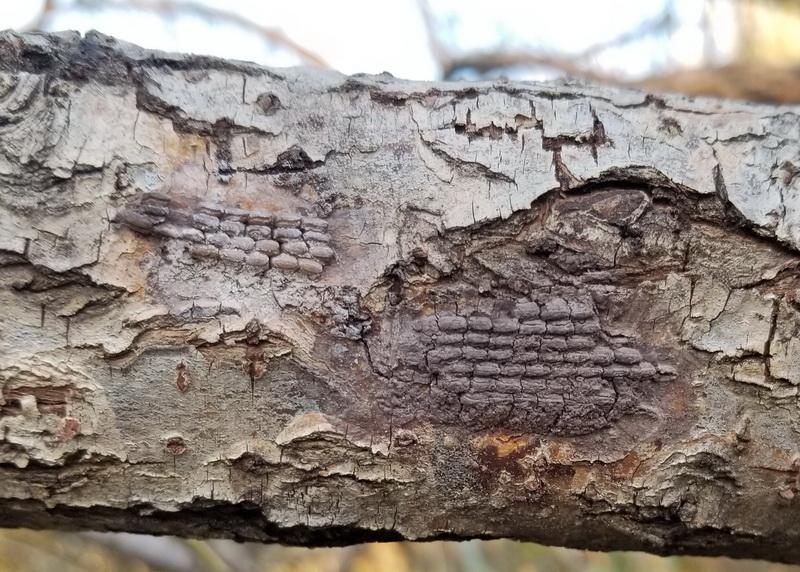 Spotted Lanternfly Egg Pods